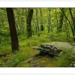 SD0840: Northern Hardwood Forest, Joyce Kilmer-Slickrock Wildern