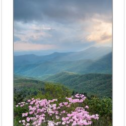 SD0904: Pinkshell azalea blooming on the Blue Ridge Parkway, Spr