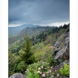 Pinkshell azalea blooming on the Blue Ridge Parkway, Spring, NC