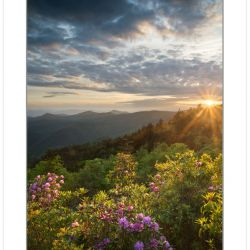 Catawba Rhododendron at Sunset, Blue Ridge Parkway, NC