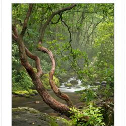 Mountain Laurel framing Palmer Creek, Great Smoky Mountains Nati