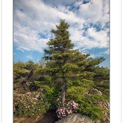 SD0980: Carolina Rhododendron and Hemlock on Shortoff Mountain,