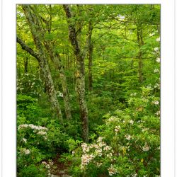 SD1032: Mountain Laurel, Harper Creek Wilderness Study Area, Pis