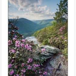 Carolina Rhododendron on the rim of the Linville Gorge, Linville