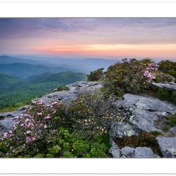 Carolina Rhododendron on Hawksbill Mountain at Sunrise, Linville