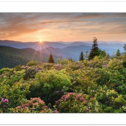 Blooming Mountain Laurel and Catawba Rhododendron near the Art L