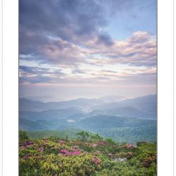 Catawba Rhododendron on Grassy Ridge, Roan Highlands, NC-TN, sum