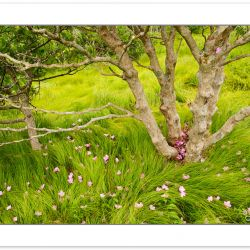 Catawba Rhododendron Blossoms and native grasses, Roan Highlands