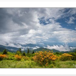 Flame azalea after a storm on Round Bald, Roan Highlands, NC-TN,
