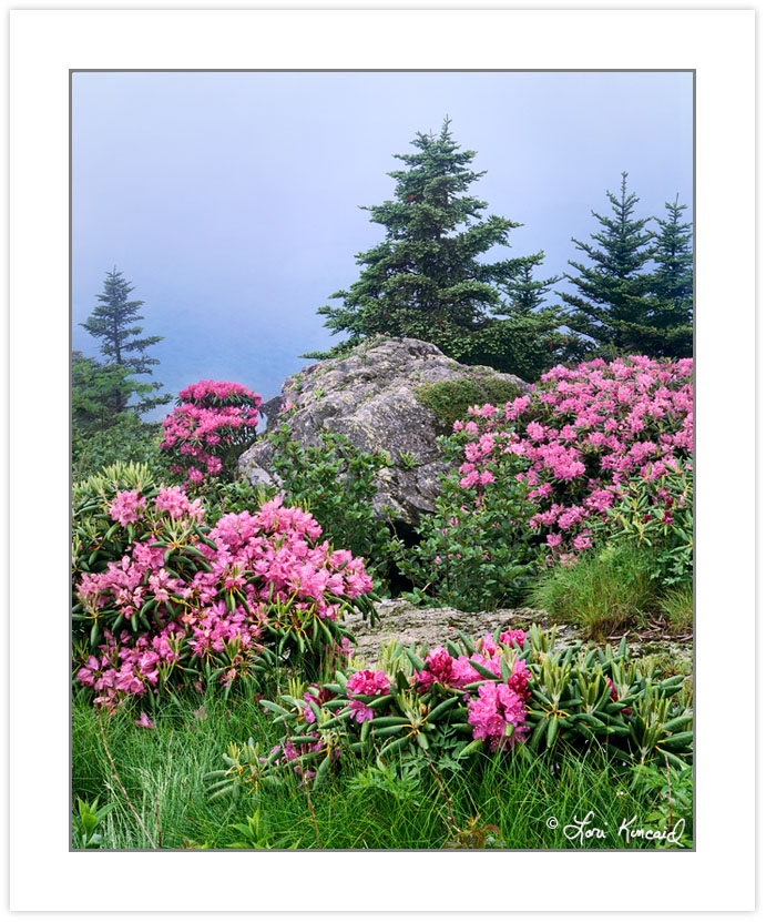 Catawba Rhododendron on Grassy Ridge, Roan Highlands area, North
