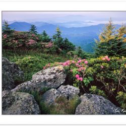 SL0143:  Catawba Rhododendron on Grassy Ridge ,Roan Highlands, T
