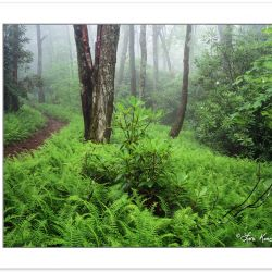 SL0177: Foggy Forest with ferns in the understory, Pisgah Nation