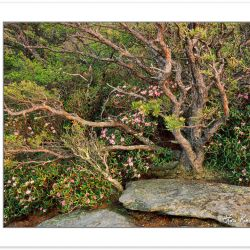 SL0235: Wind-shaped Table Mountain Pine and Carolina Rhododendro