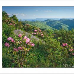 Catawba Rhododendron, Black Balsam area, Pisgah NF, NC, June