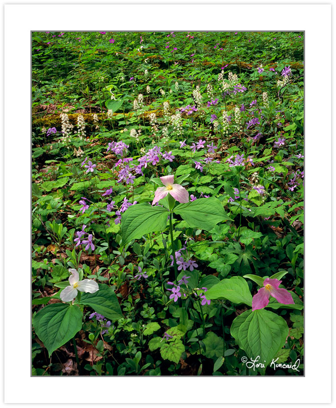 Large-flowered Trillium, Wild Geranium and Foamflower, Appalachi