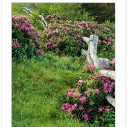 SL0344: Catawba rhododendron along fence at Roan Mountain, TN-NC