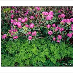 SL0346: Catawba rhododendron and ferns, Pisgah National Forest,
