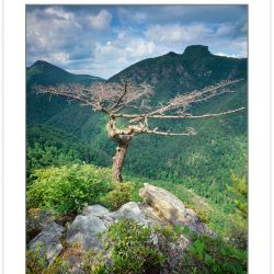 SL0364: Dead Table Mountain Pine on the Rim of the Linville Gorg