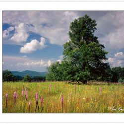 SL0367: Lone Tulip Poplar in a meadow of Liatris spicata and Cor