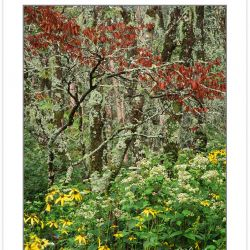 SL0368: Wild goldenglow (Rudbeckia laciniata) and White Snakeroo