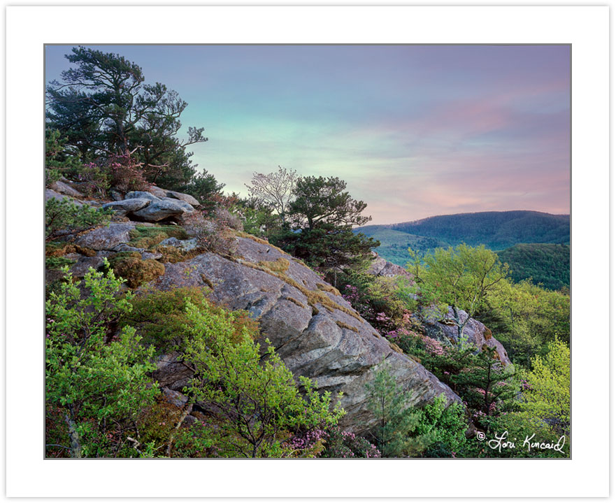 SL0369: Carolina Rhododendron at sunset, Pisgah National Forest,