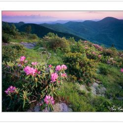 SL0393: Catawba Rhododendron on Sam's Knob, Black Balsam area of