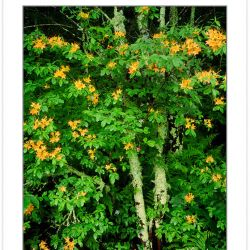 SL0399: Flame azalea, Pisgah National Forest, NC, May.