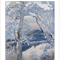 WL0144: Snow and rime- coated tree on Max Patch Mountain, Pisgah