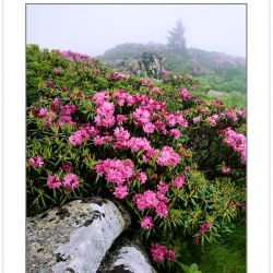 SL0103: Catawba Rhododendron on Grassy Ridge, Roan Highlands are