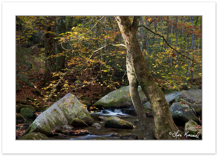 AD0417: Sweet Gum on the Middle Saluda River, Jones Gap State Pa