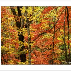 AL0174: Sugar Maple (Acer saccharum) and Sourwood (Oyxdendrum ar