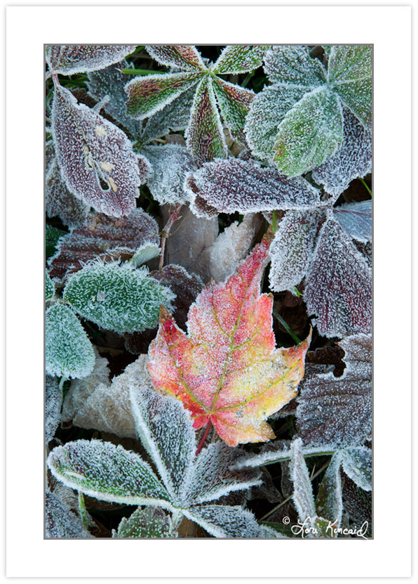 Frosted leaves, Cherokee National Forest, TN, Autumn