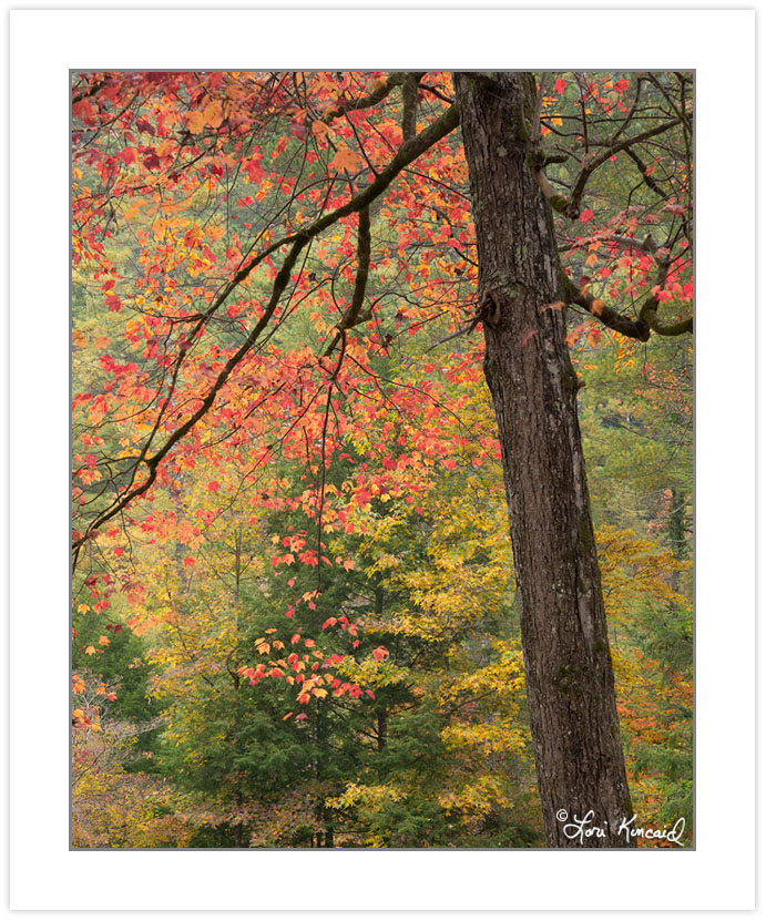 AD0634: Red Maple, Cherokee National Forest, TN, Autumn
