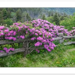 SD0345: Catawba Rhododendron line the fence at Carver's Gap, Roa
