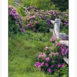 SD0347: Catawba Rhododendron line the fence at Carver's Gap, Roa