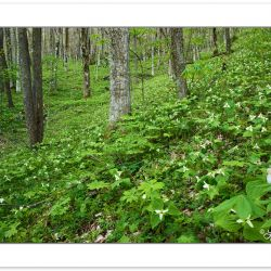 SD0462: Woodland meadow of Trillium erectum and solitary Trilliu