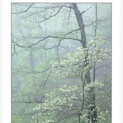 SL0353: Dogwood (Cornus florida) entwined with Black Cherry (Pr
