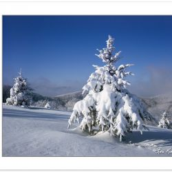 WL0139: Snow coated Fraser Firs (Abies fraseri) in mountain mead