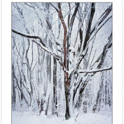WL0143: Snow-covered trees, Bald Mountains, TN, winter