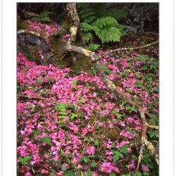 SL0123: Fallen Catawba Rhododendron Blossoms (Rhododendron cataw