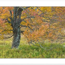 AD0561: Maple in autumn foliage, Canaan Valley Resort State Park