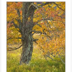 AD0696: Maple in autumn foliage, Canaan Valley Resort State Park