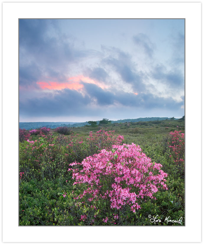 SD0923: Rose azalea (Rhododendron prinophyllum), Dolly Sods Wild