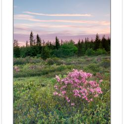 SD0966: Pink zalea at sunrise, Dolly Sods Wilderness, WV, spring